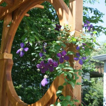 Clematis on Arbor