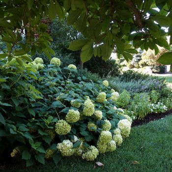 Shaded Annabelle Hydrangeas