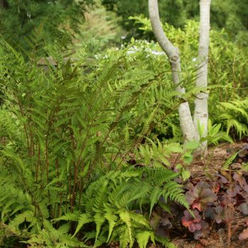 Naturalistic Woodland Birch Planting