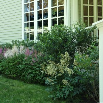 Astilbe in Front Bed