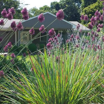 That Allium Deserves a 'Standing Ovation'